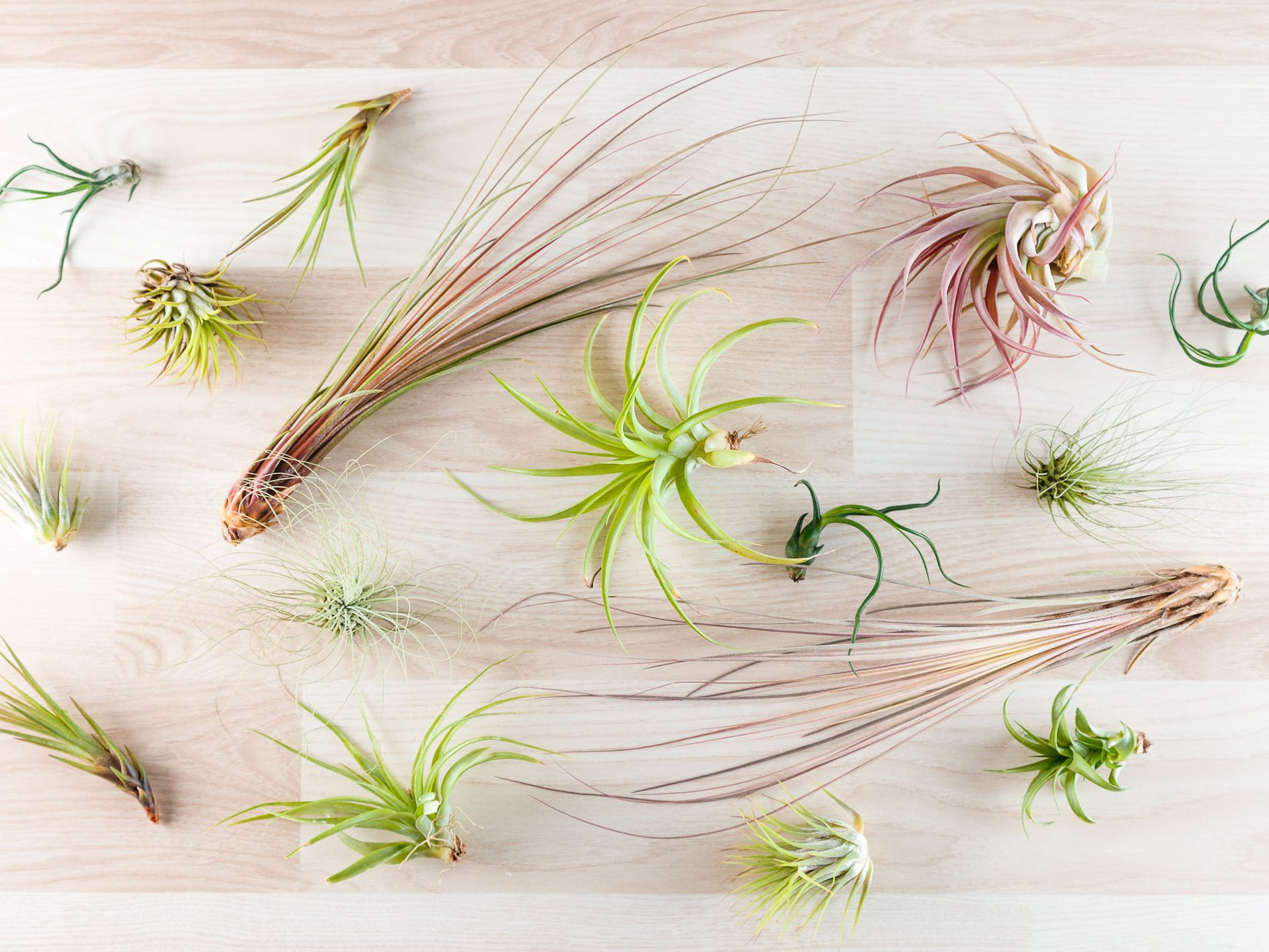 How To Propagate Air Plants