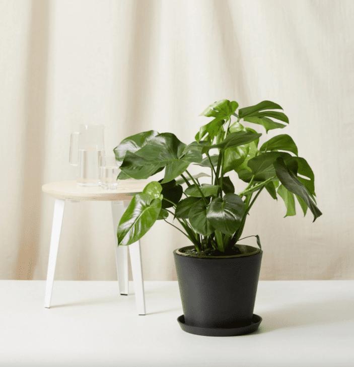 Large Monstera plant.