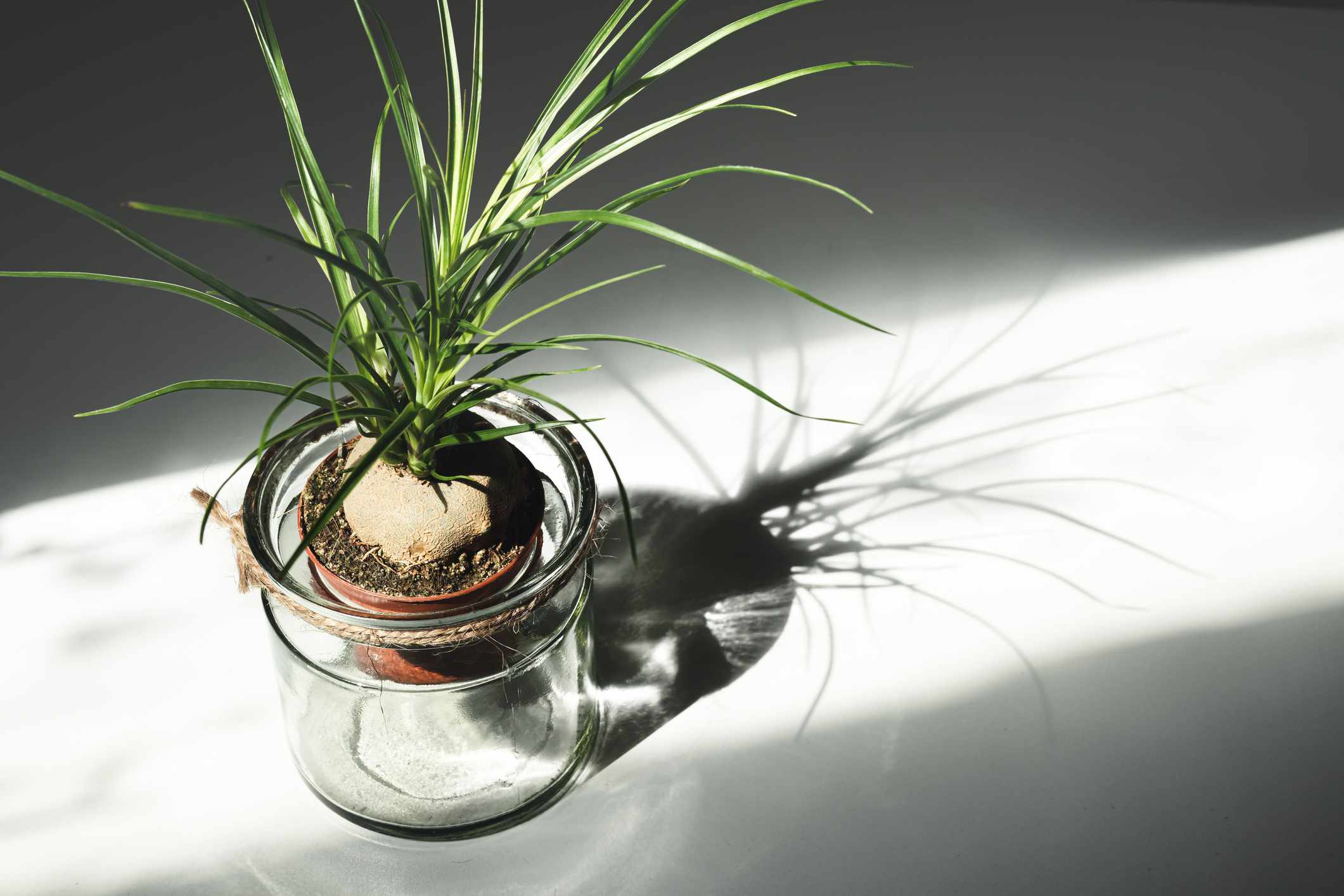 Propagated ponytail palm (Beaucarnea recurvata) offset in glass jar