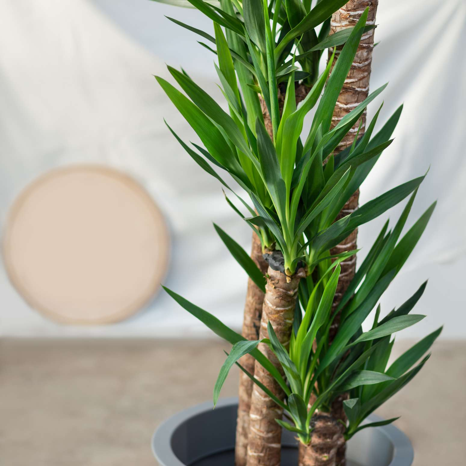 A yucca plant in a gray pot with spiky green leaves