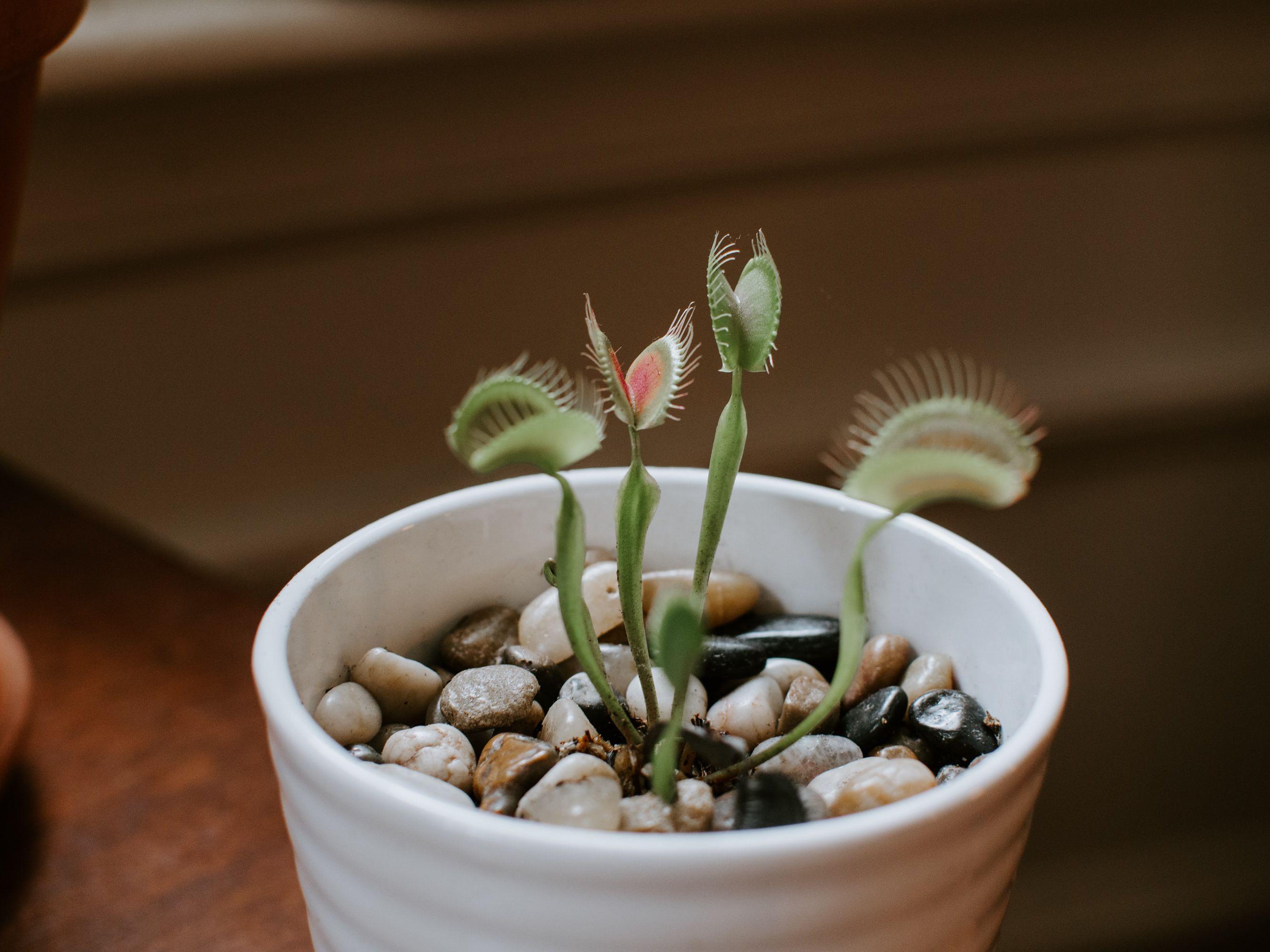 Carnivorous Venus Flytrap Plant Care Growing Guide