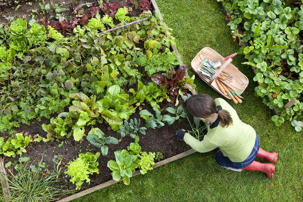 overhead shot of white woman with ponytail and red boots working in raised bed vegetable garden with tools on grass