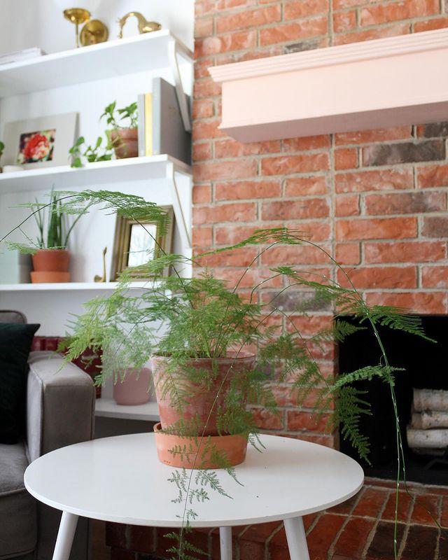 Asparagus fern in a terra cotta pot on a coffee table