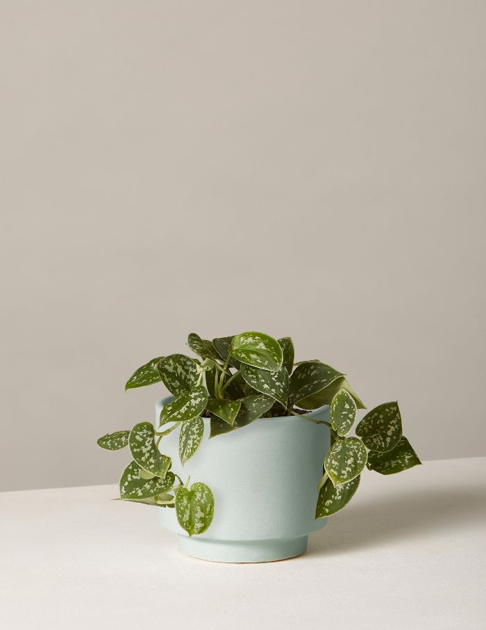 The Sill Philodendron Silver In Small Prospect Planter