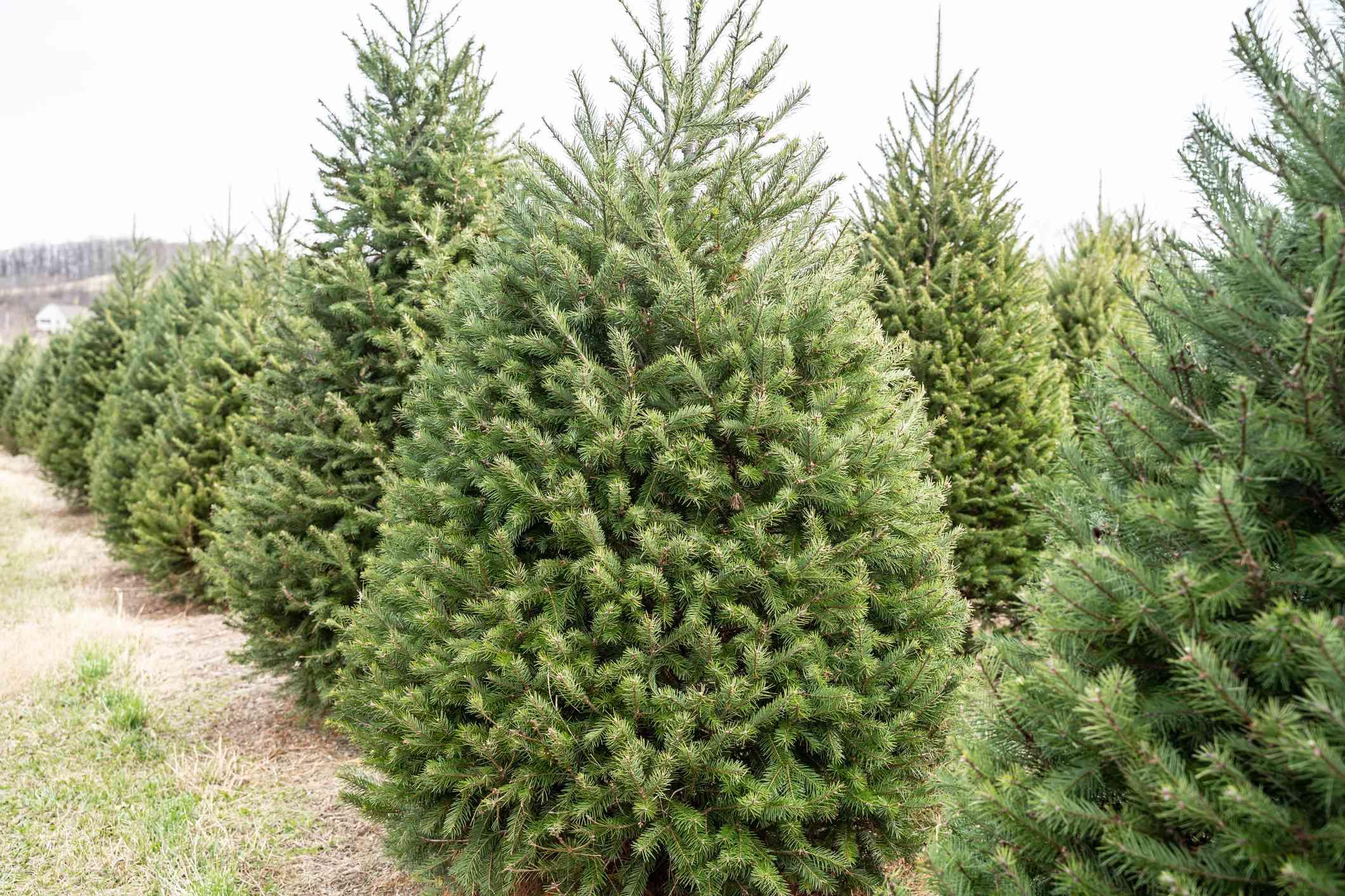 douglas fir christmas trees growing in rows on tree farm