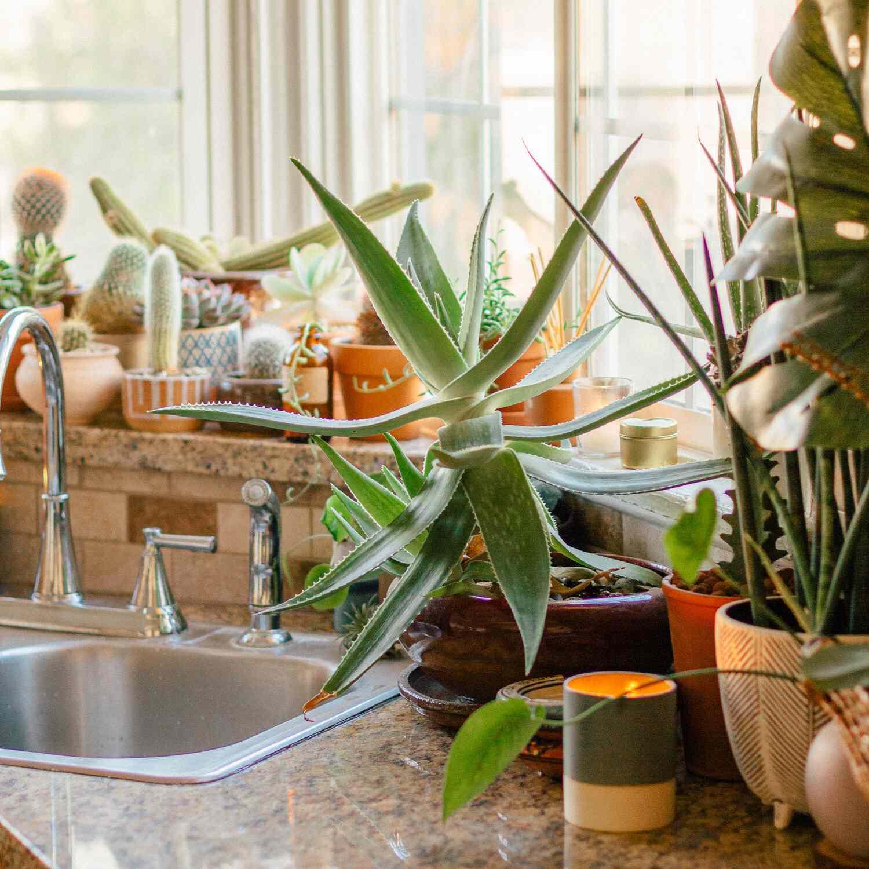 Large aloe vera plant on a kitchen countertop