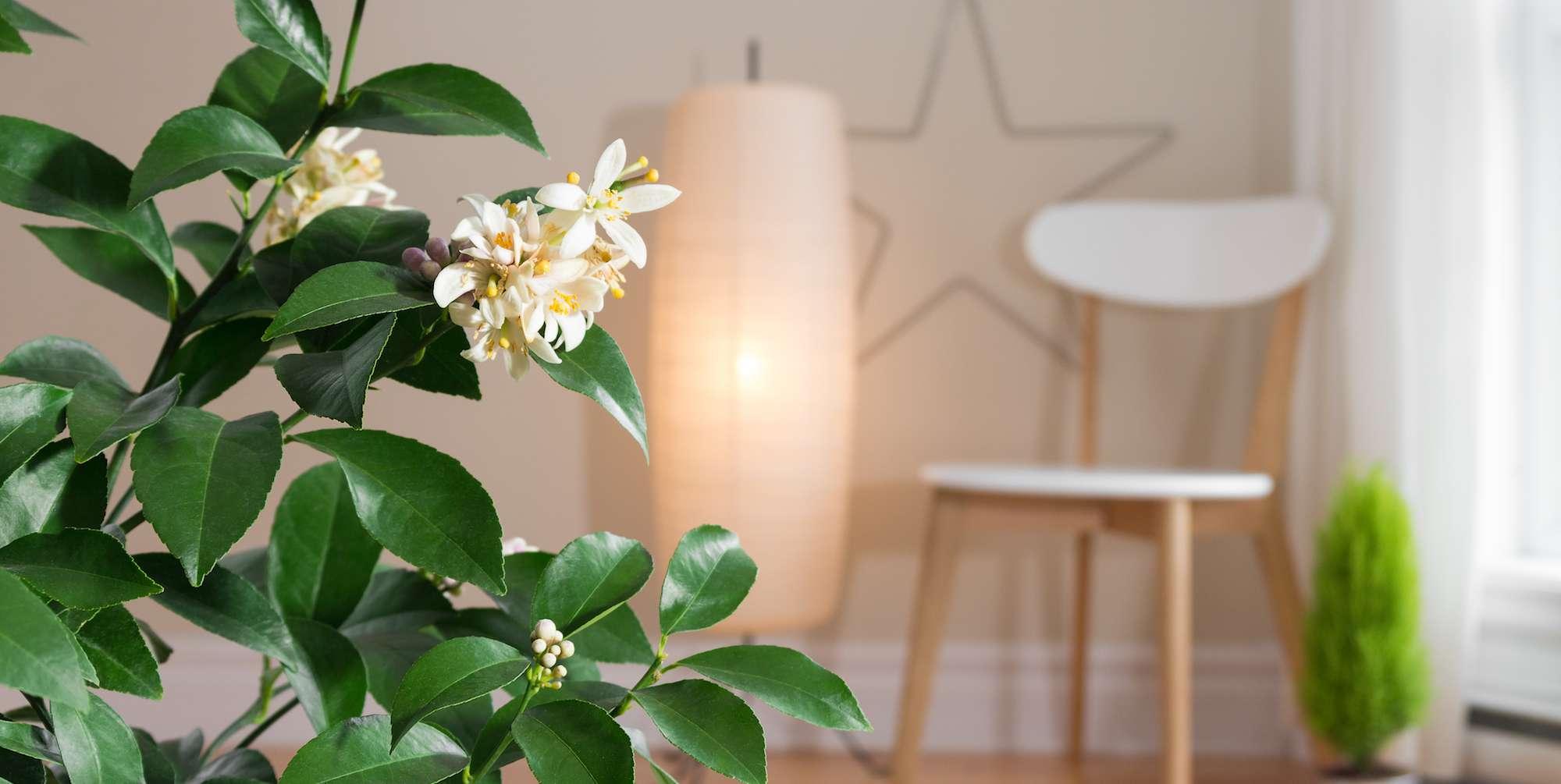 A lemon trees blooms indoors