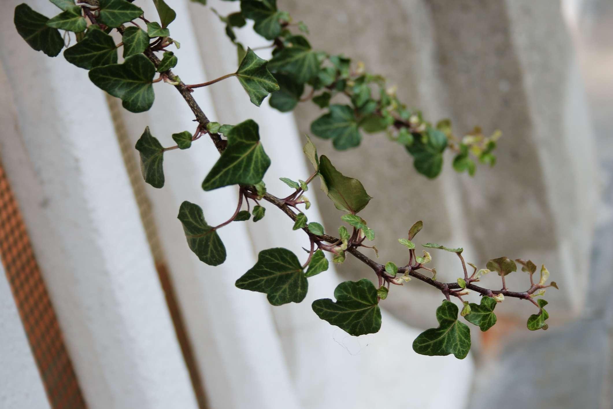 english ivy cheap plants
