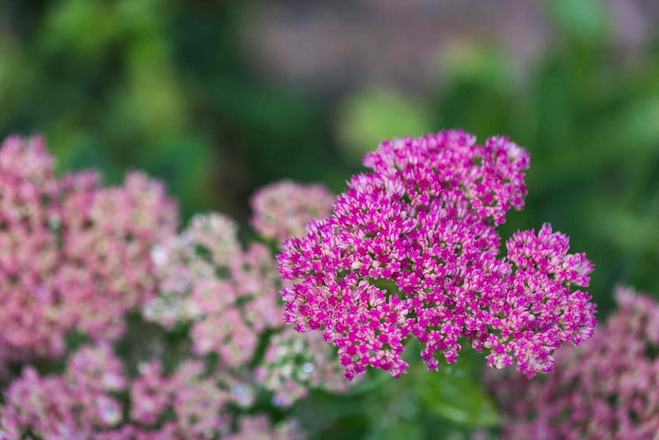 pink sedum flowers in garden