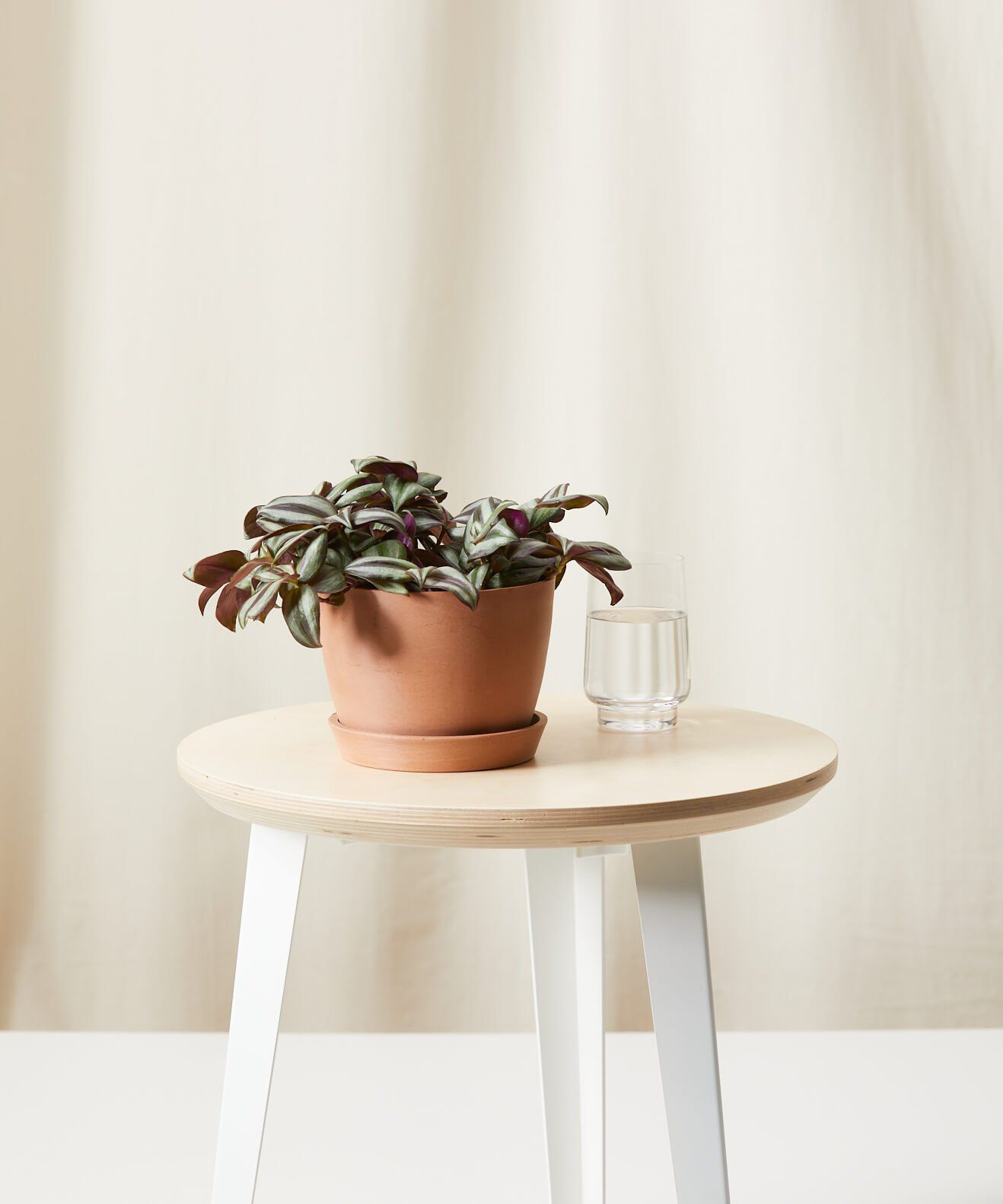 Wandering Jew plant in an orange clay pot on a wood side table