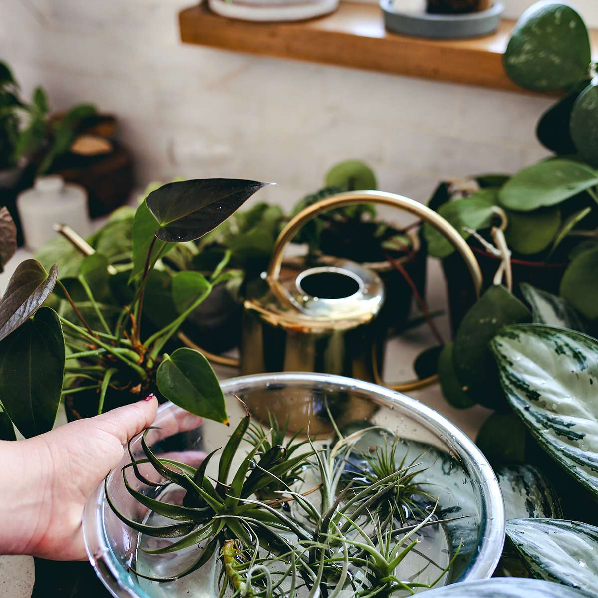 indoor plants safe for cats: air plants