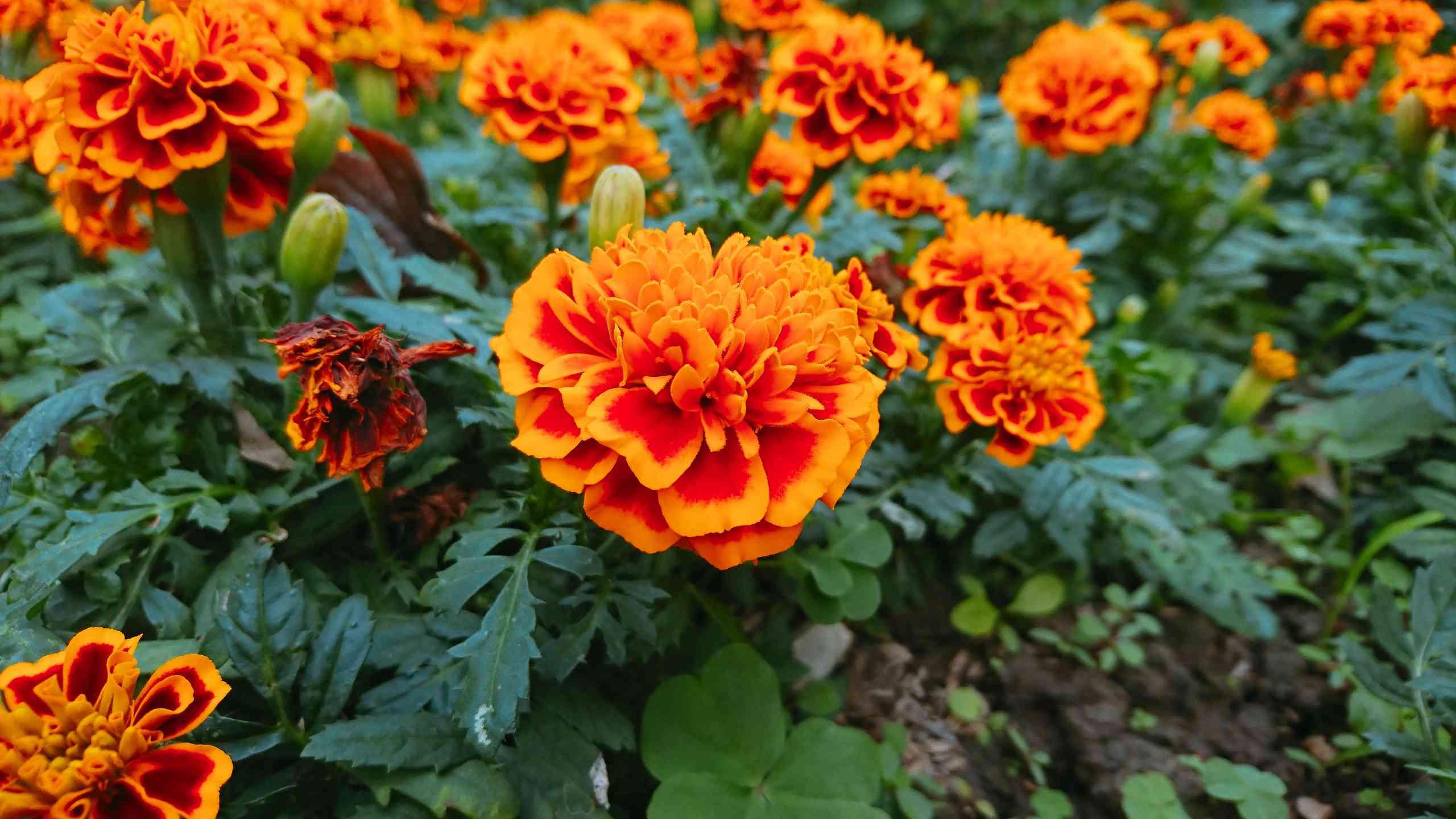 bright orange marigolds growing in garden