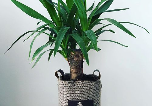 small yucca plant growing in woven pot sitting on flat rock on wooden desk