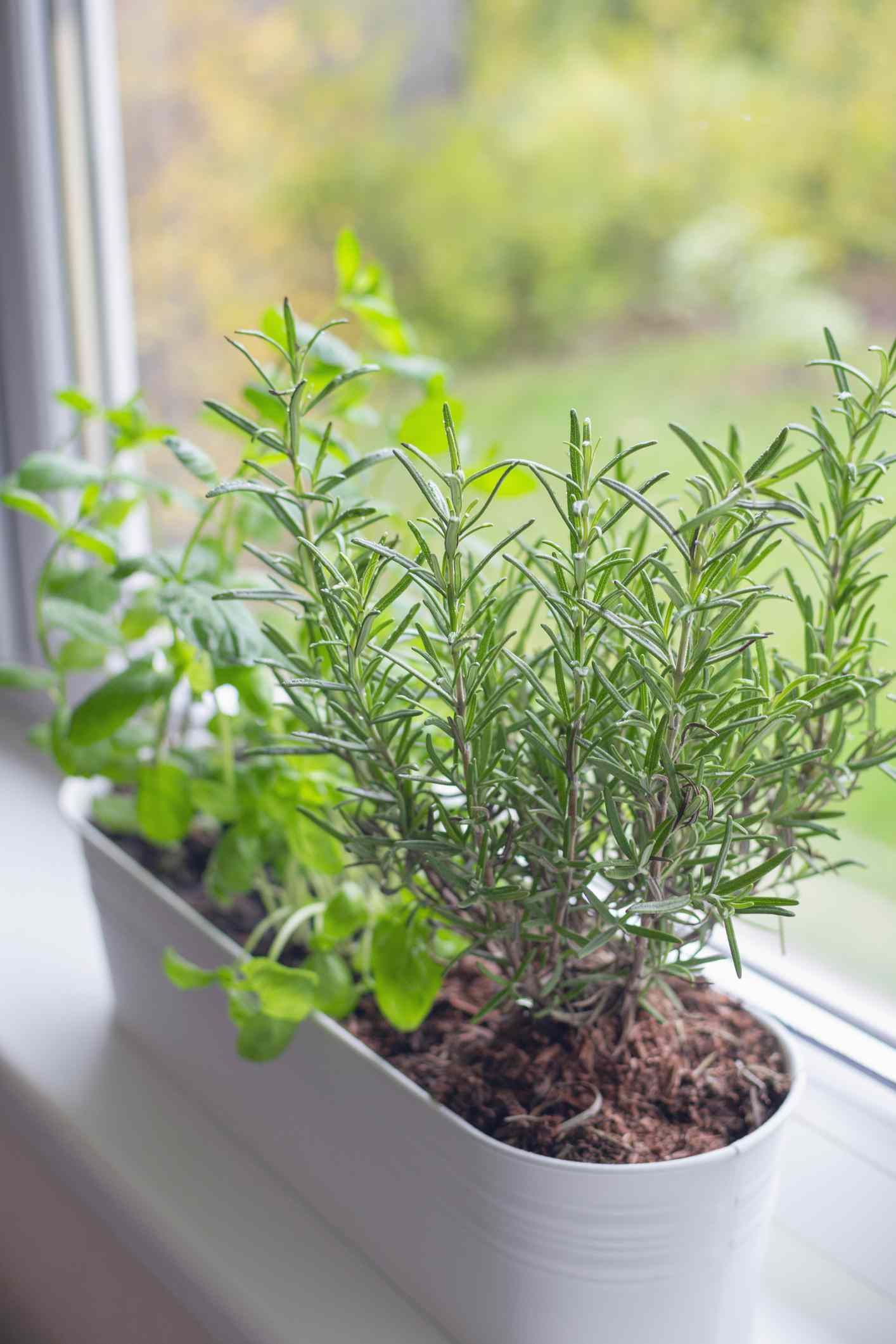 Fresh basil, mint and rosemary are growing in a large white flower pot on windowsill indoors.