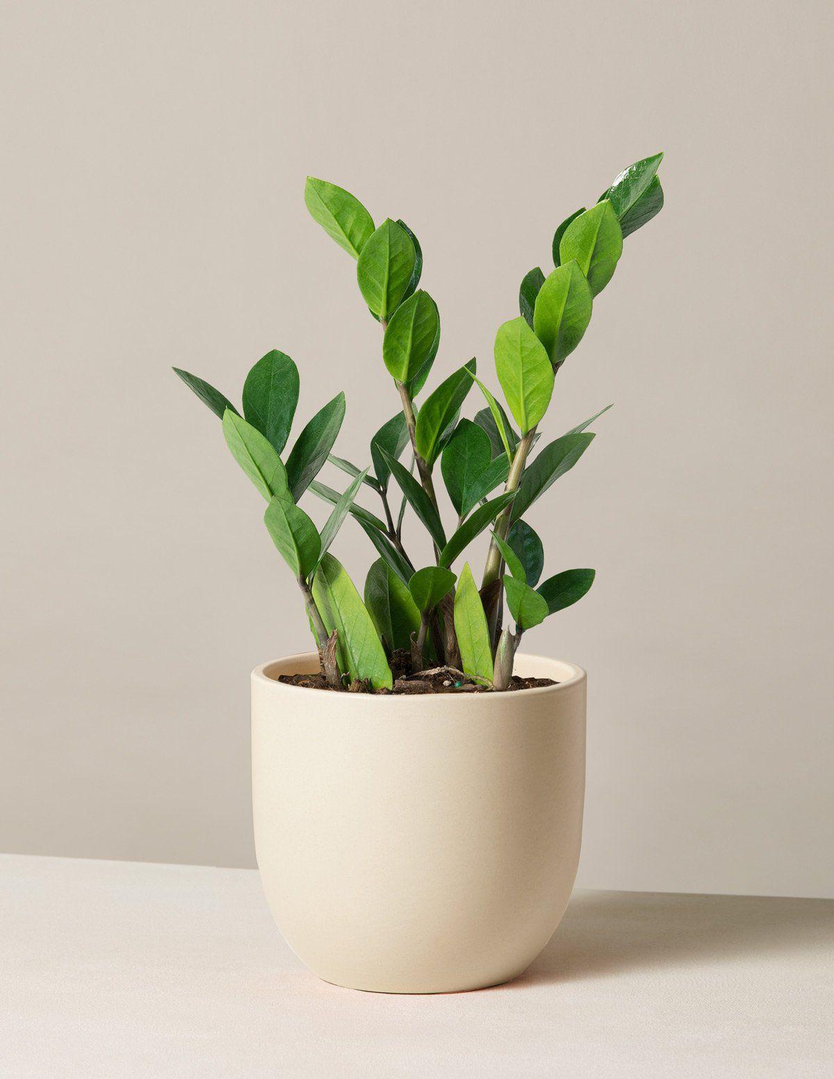 ZZ plant in pot