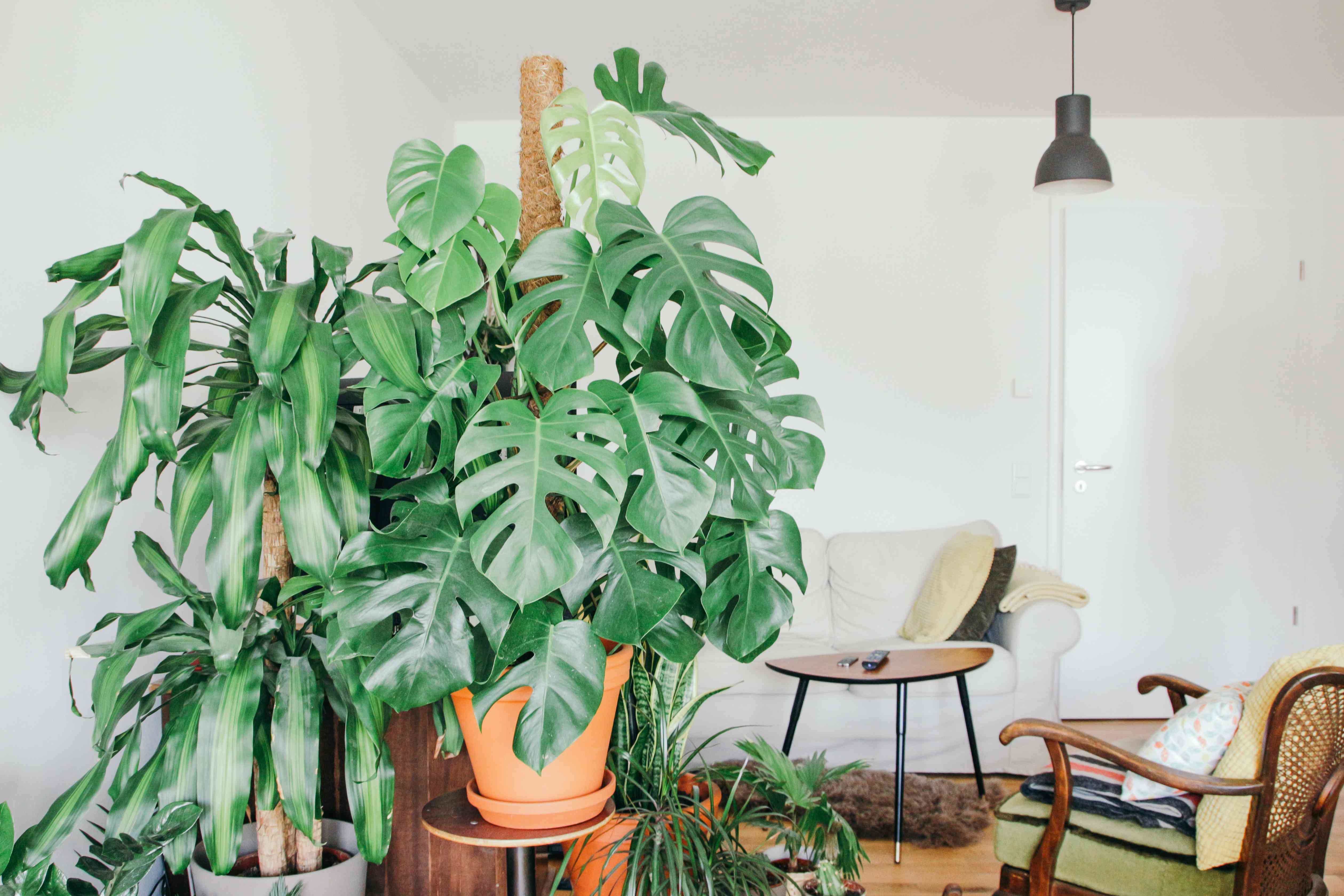 monstera with other houseplants in living room