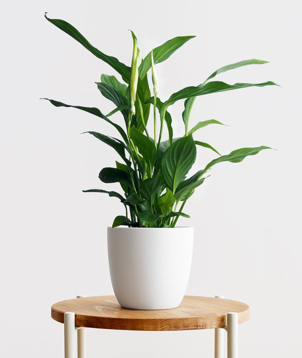 Peace lily in a white pot on a wood table