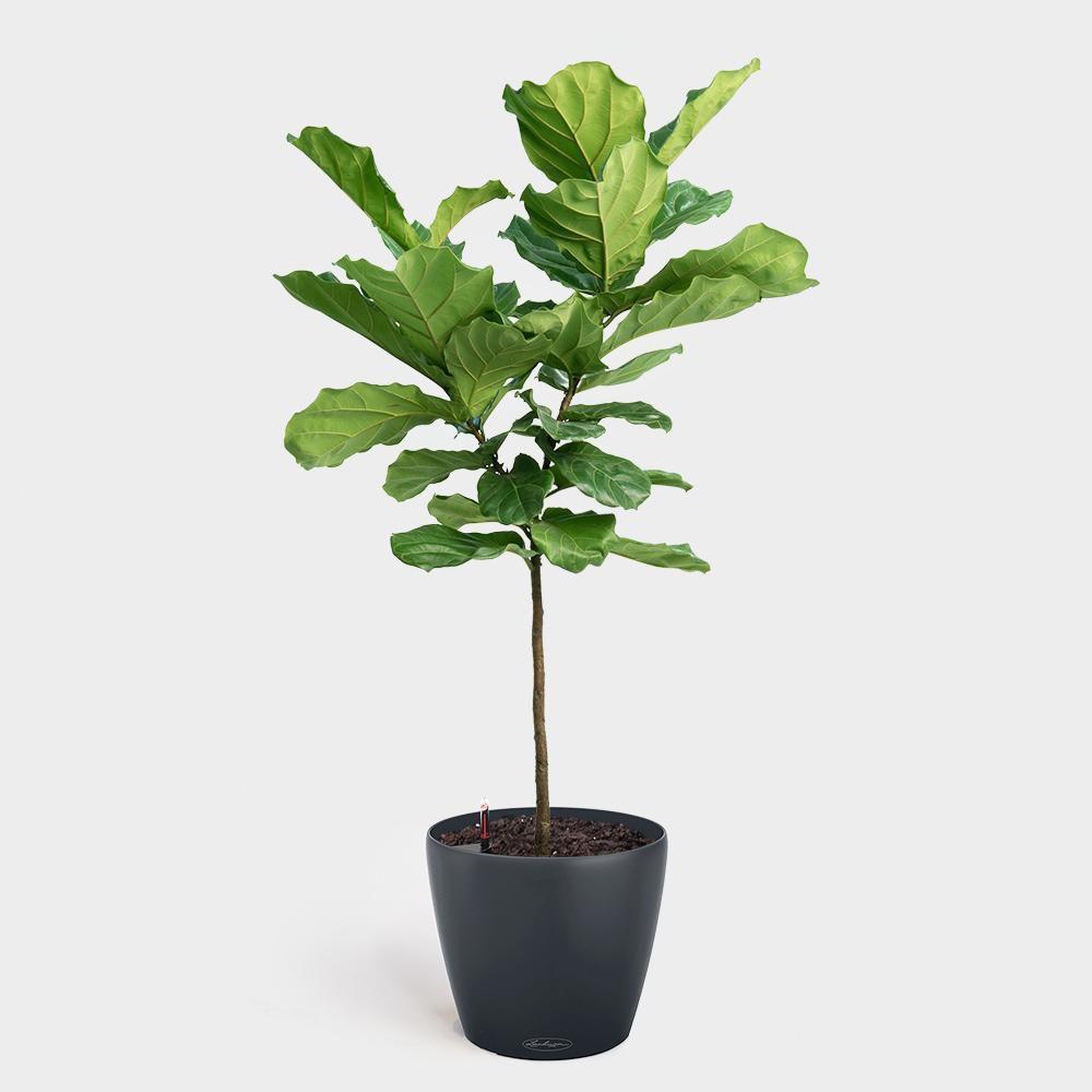 Fiddle leaf fig in black matte pot