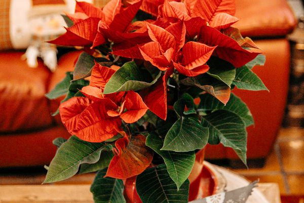 Red and green poinsettia in pot