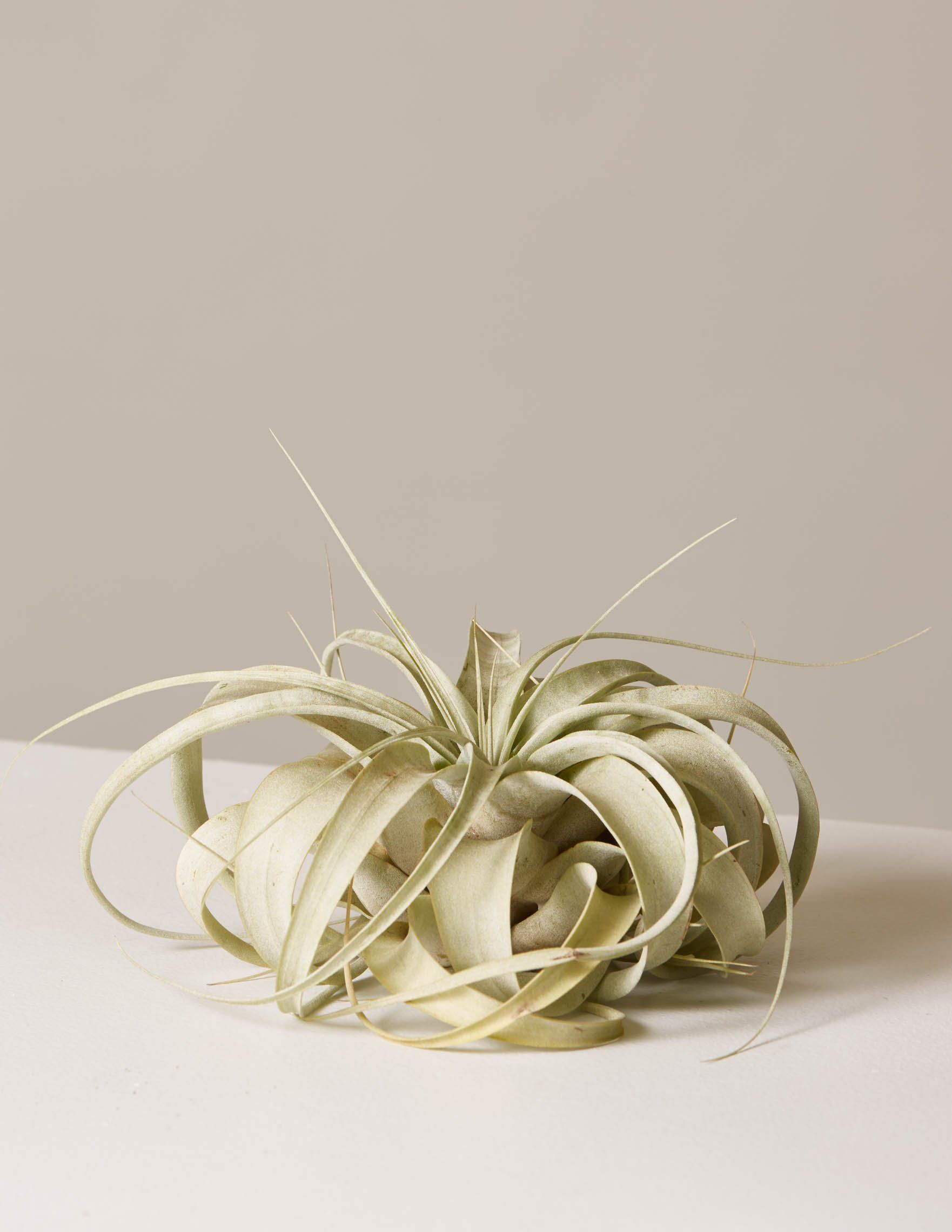 An air plant photographed on a taupe background.
