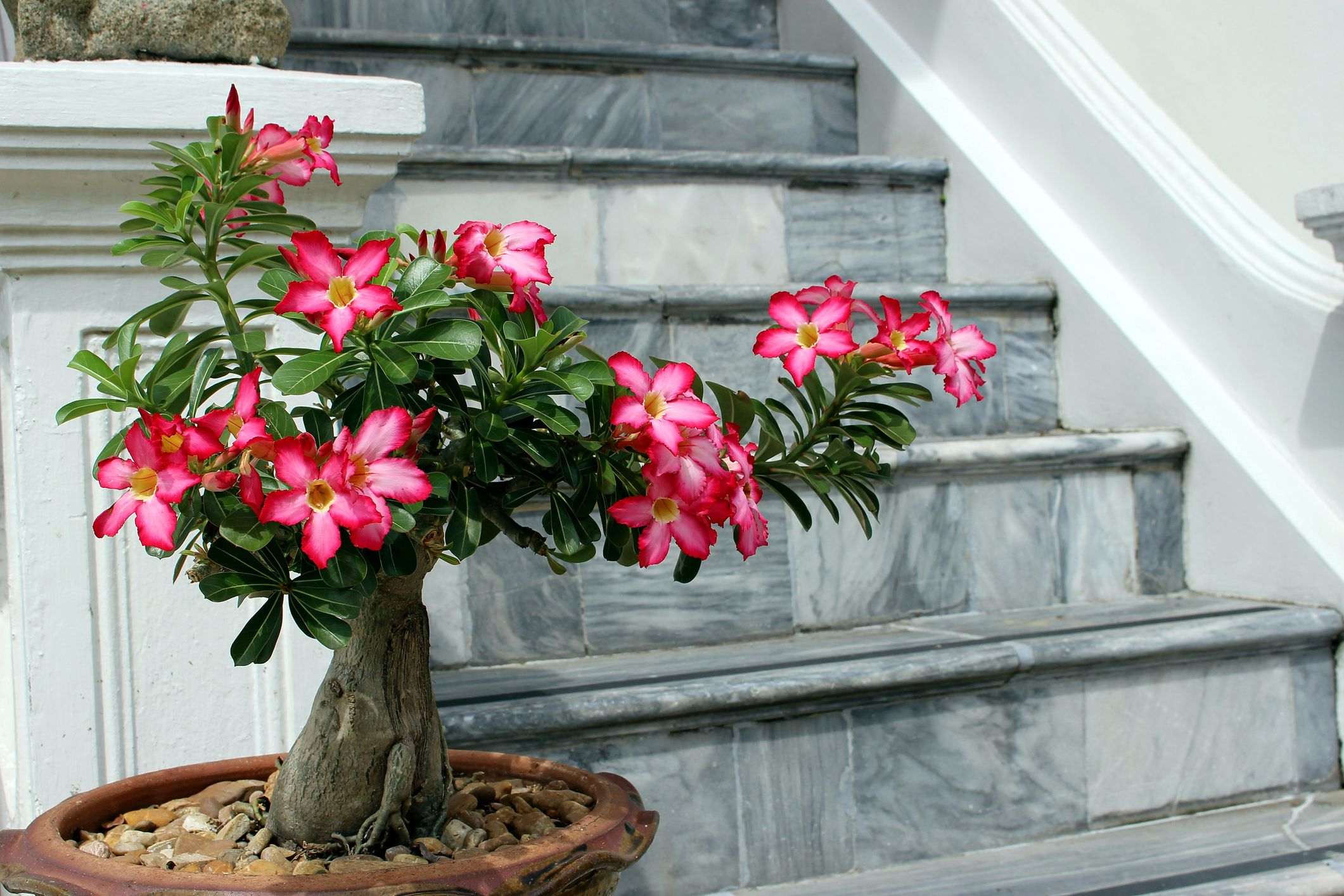 Your Complete Guide to Growing and Caring For a Desert Rose Bonsai