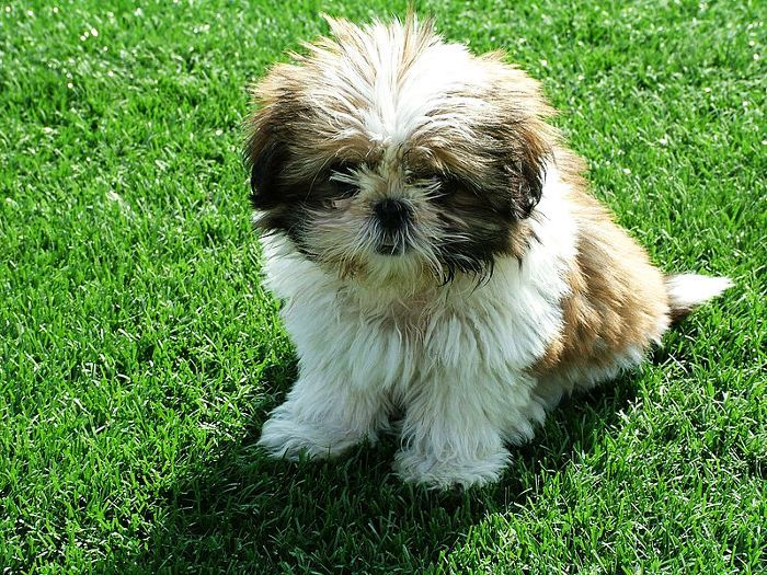 These Are the 10 Best Hypoallergenic Dog Breeds