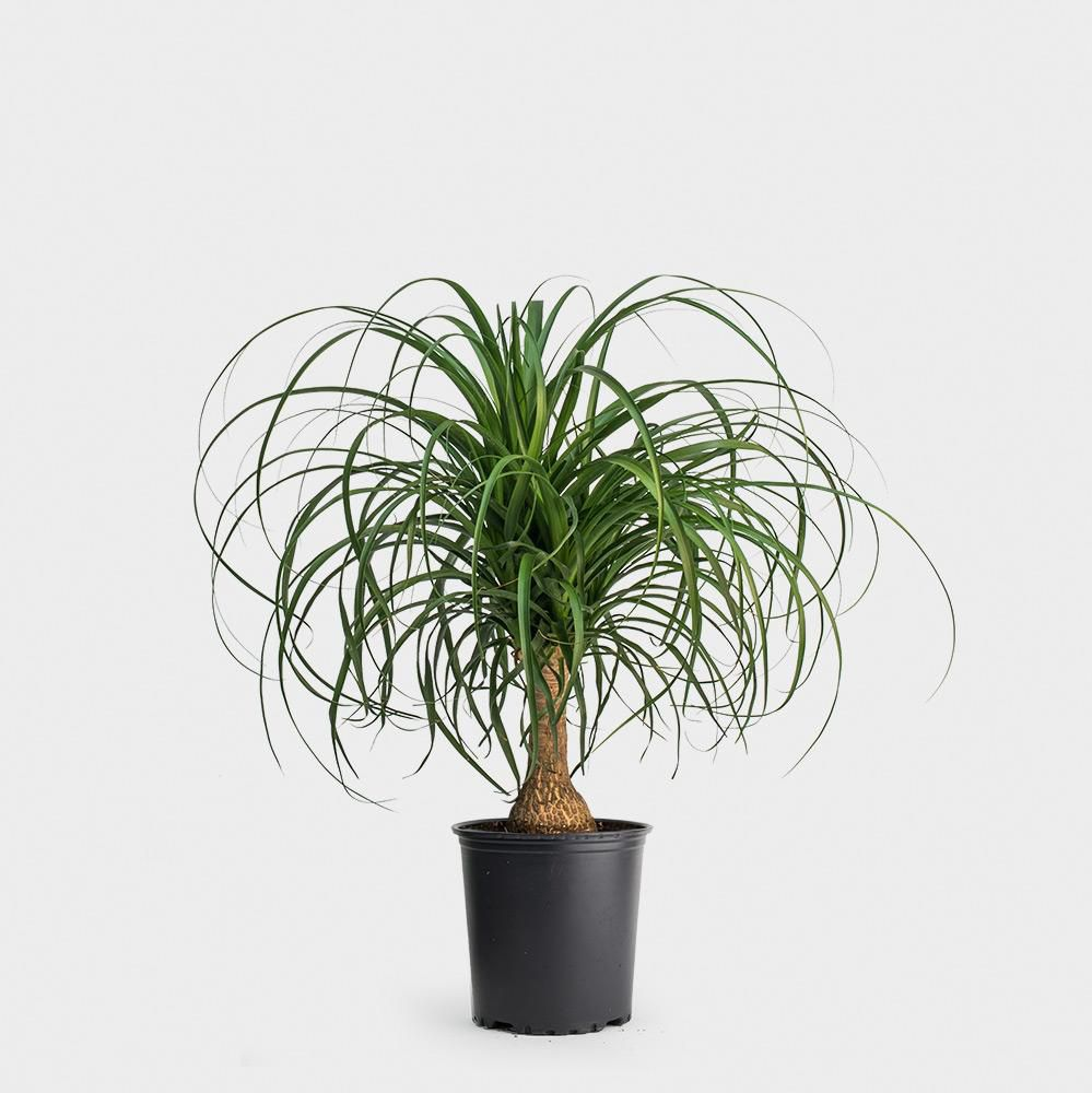 Ponytail palm in a black grower's pot