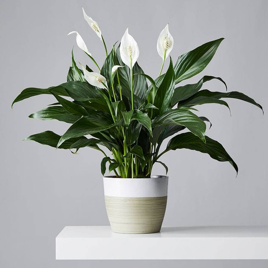 Peace Lilies: Plant Care & Growing Guide