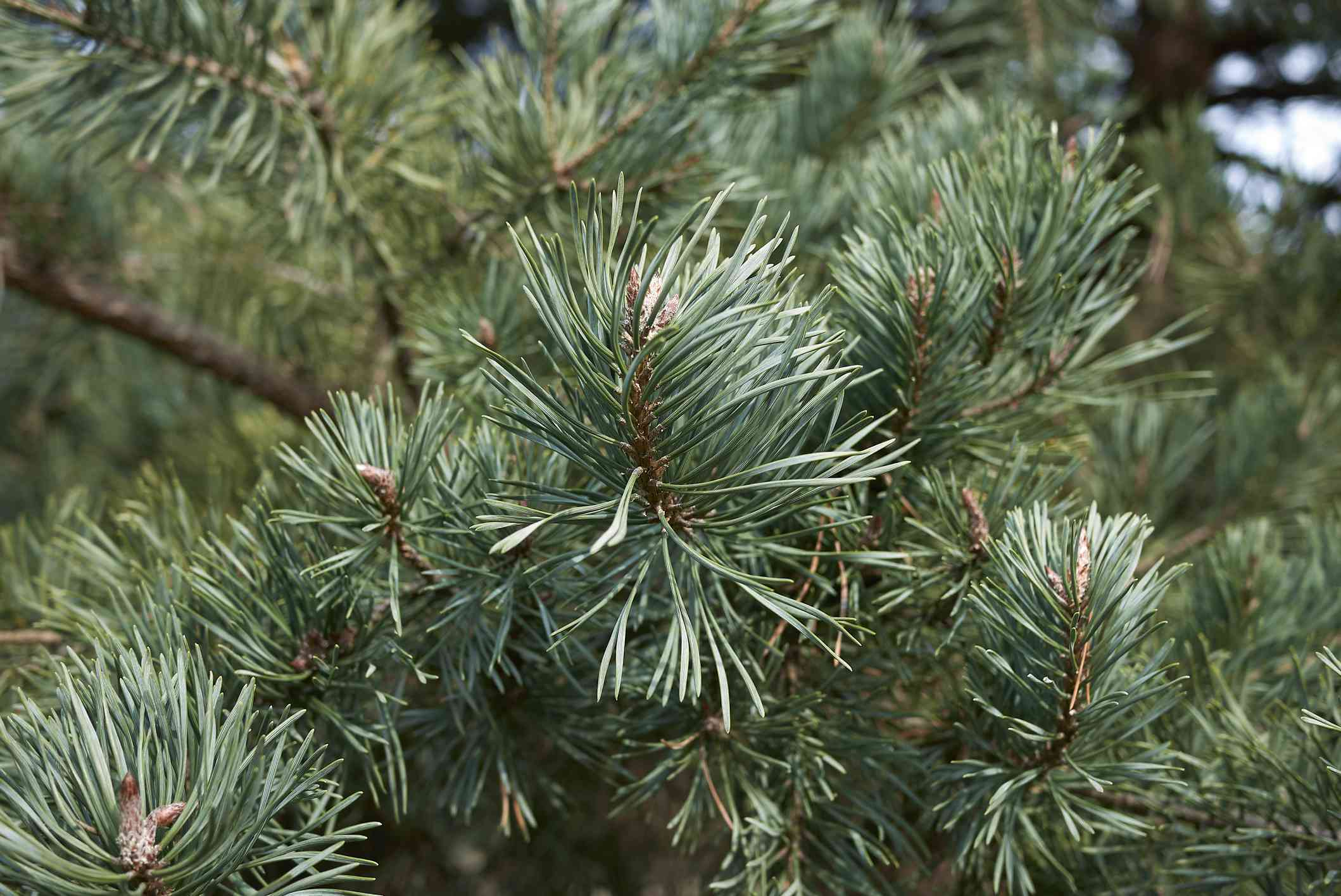 closeup of scotch pine tree branches and needles