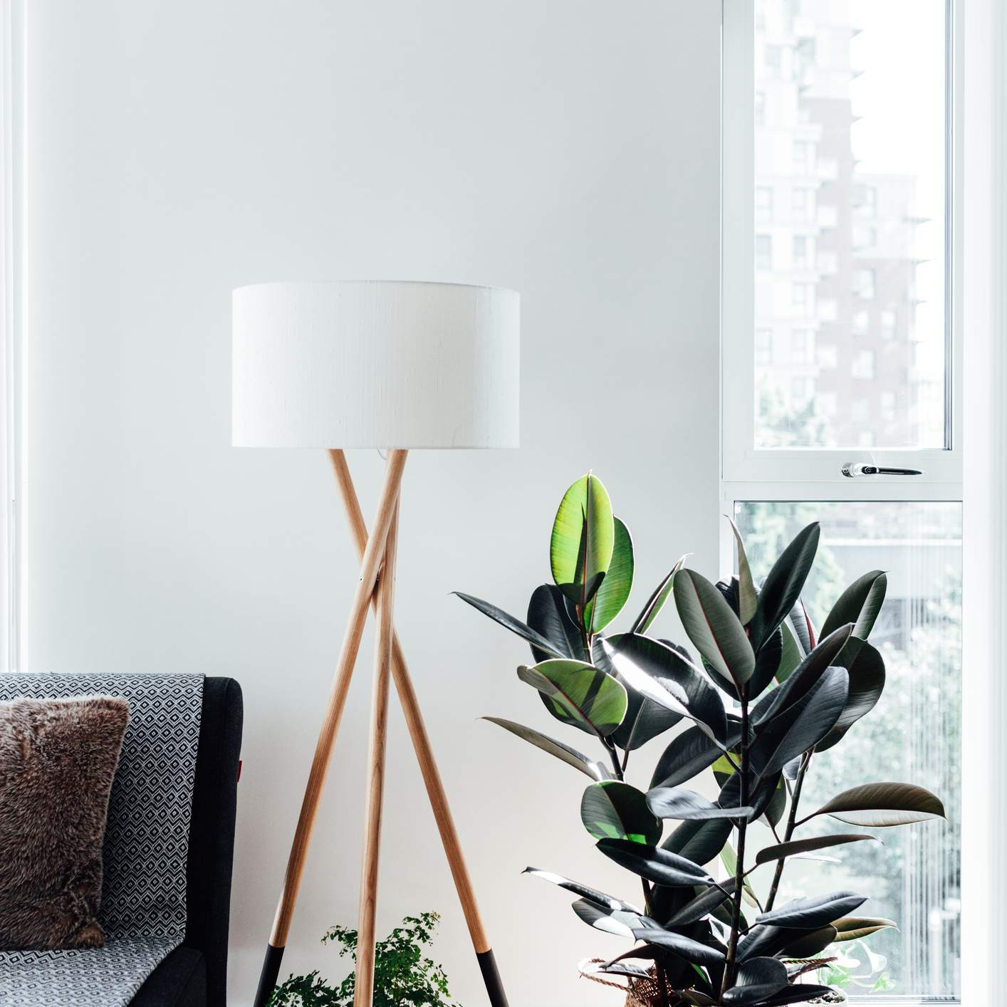 rubber tree in basket in bright living room