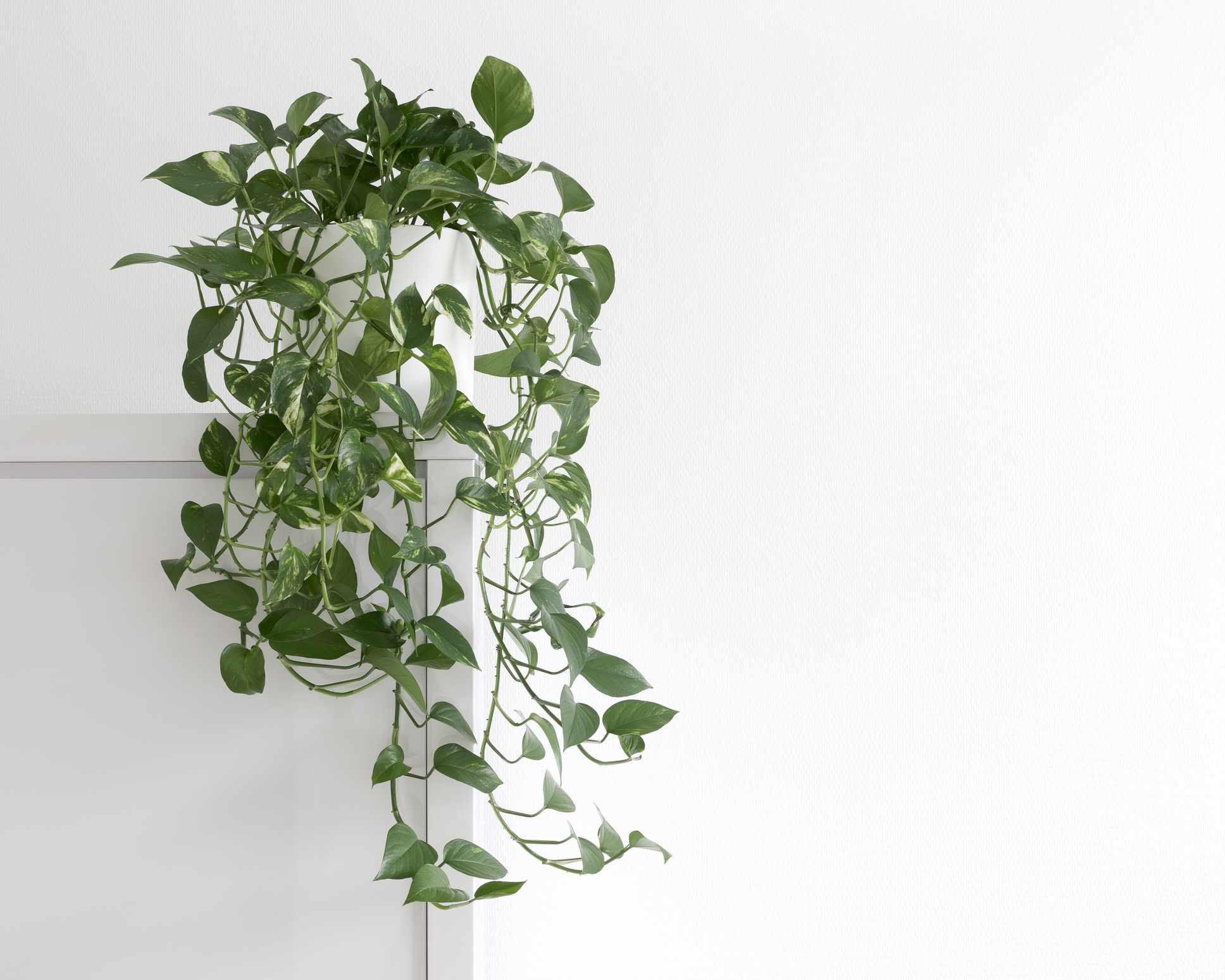 pothos plant trailing from door frame