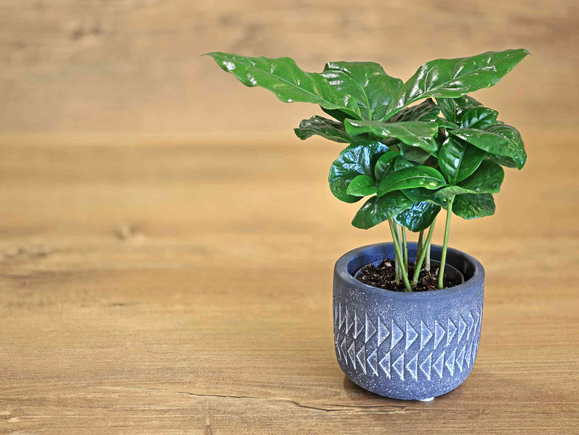 Small coffee plant growing in pot