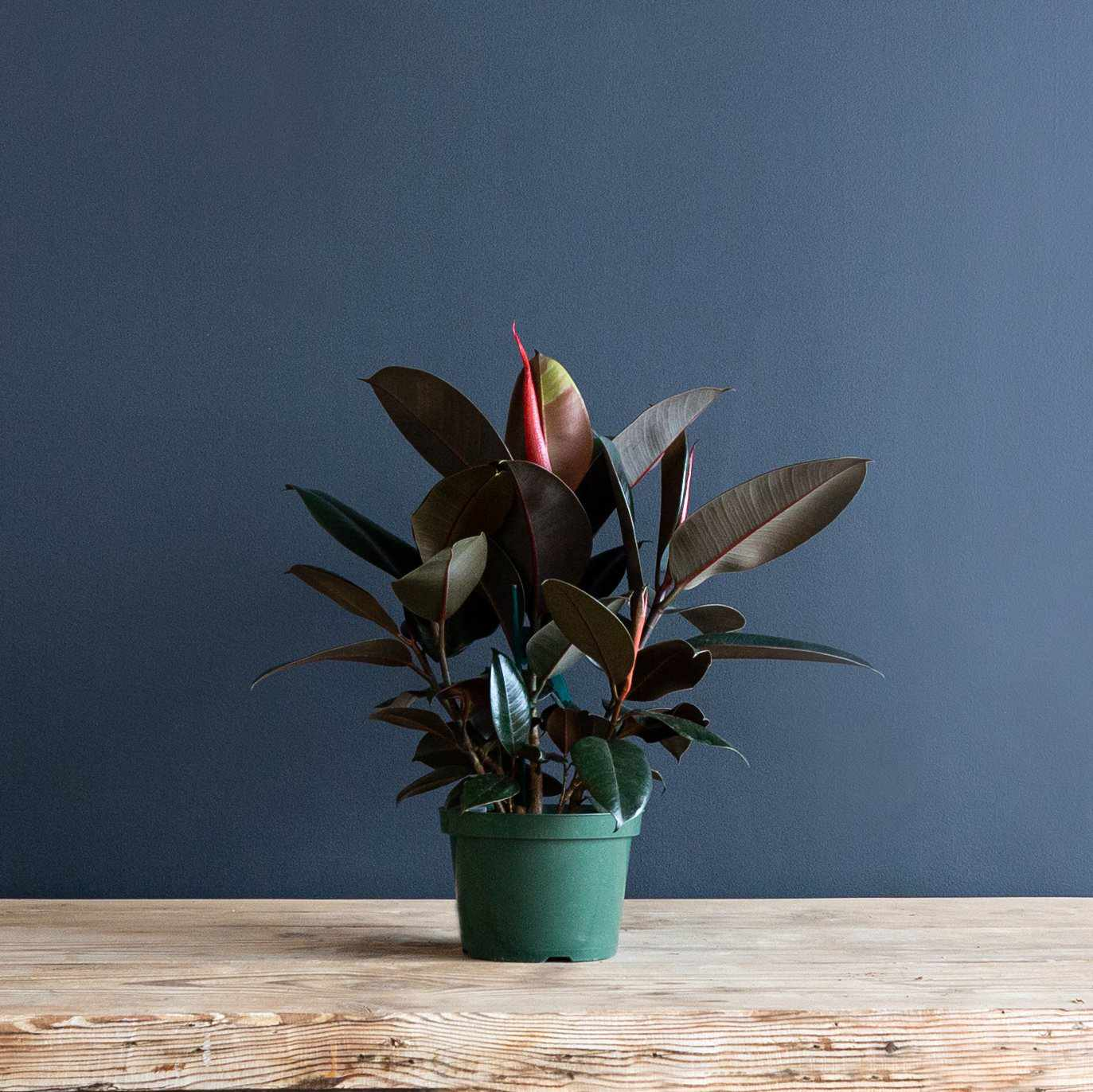 Rubber Tree in a grower's pot in front of a blue wall