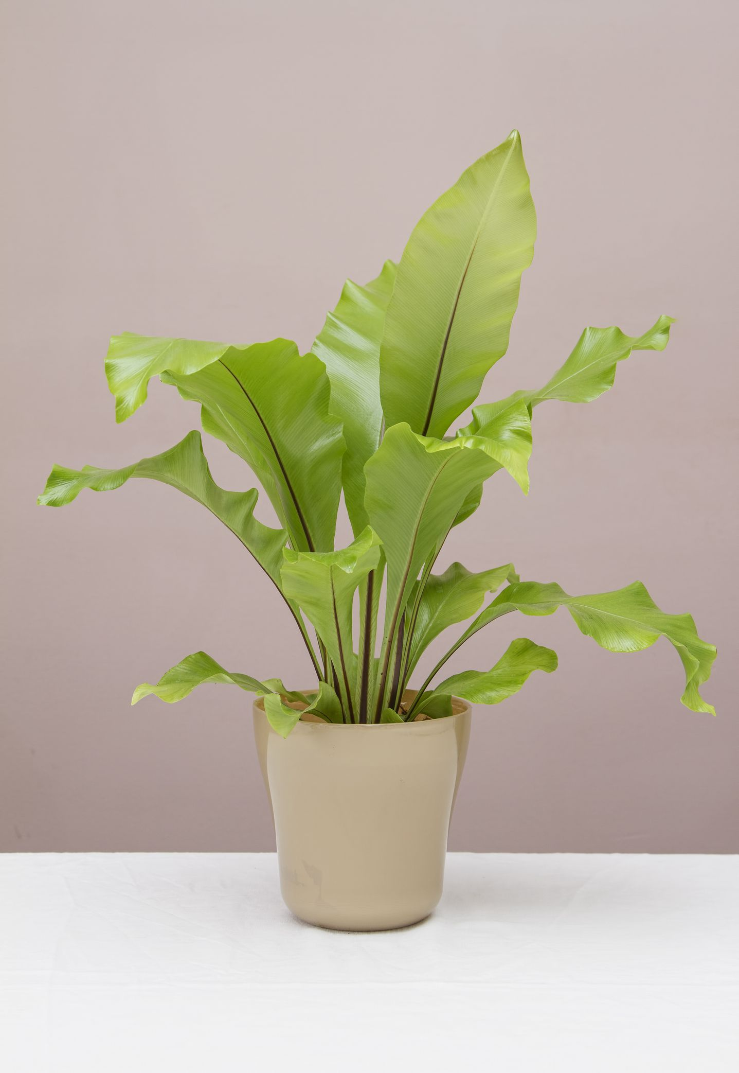 How to Care for Your Bird's Nest Fern
