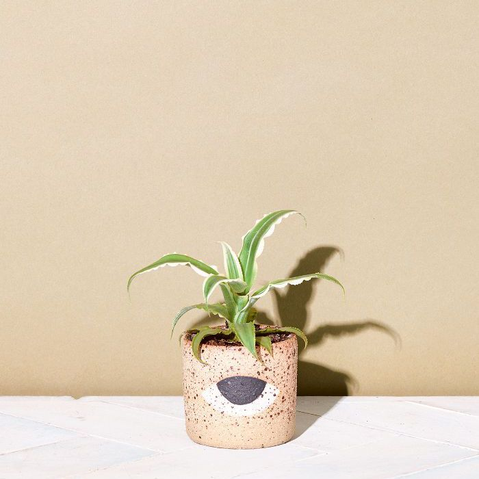 Low-Light Indoor Plants — Earth Star