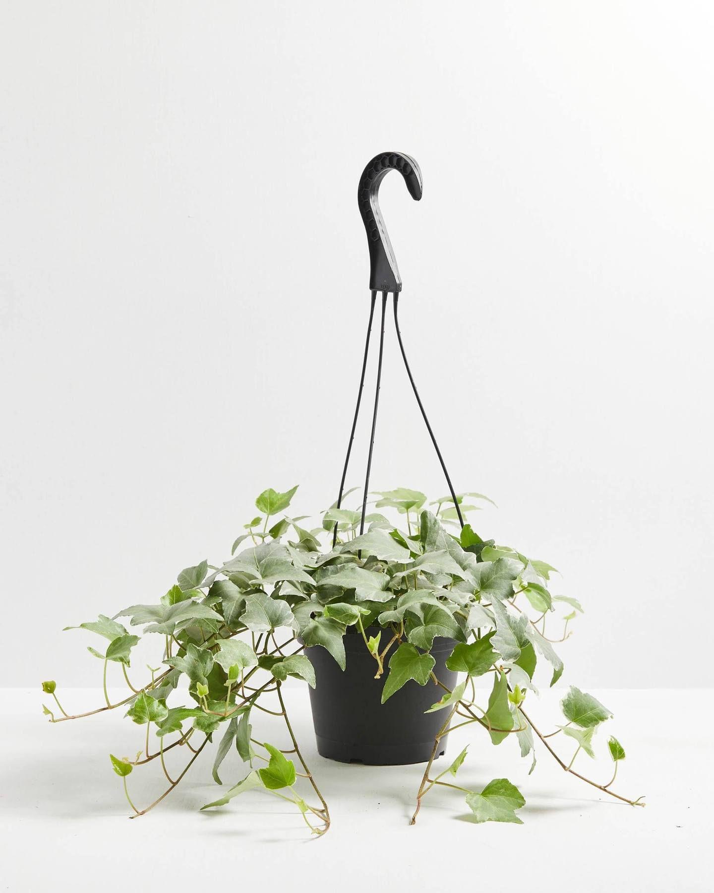 English ivy glacier in a black hanging planter