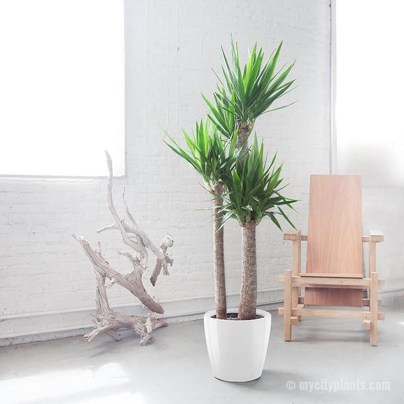A potted yucca plant in a white planter.