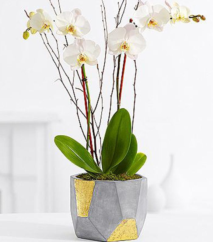 ProPlants Potted Double Stem White Orchid