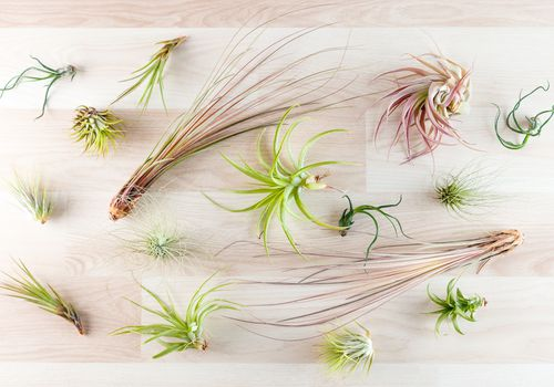 A variety of air plants on a wood surface