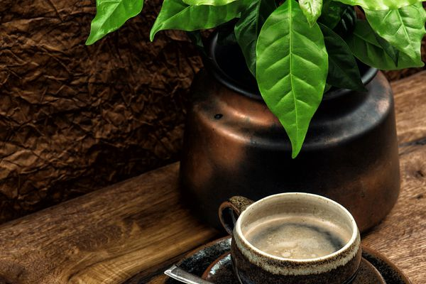 Coffee plant growing in pot with fresh coffee