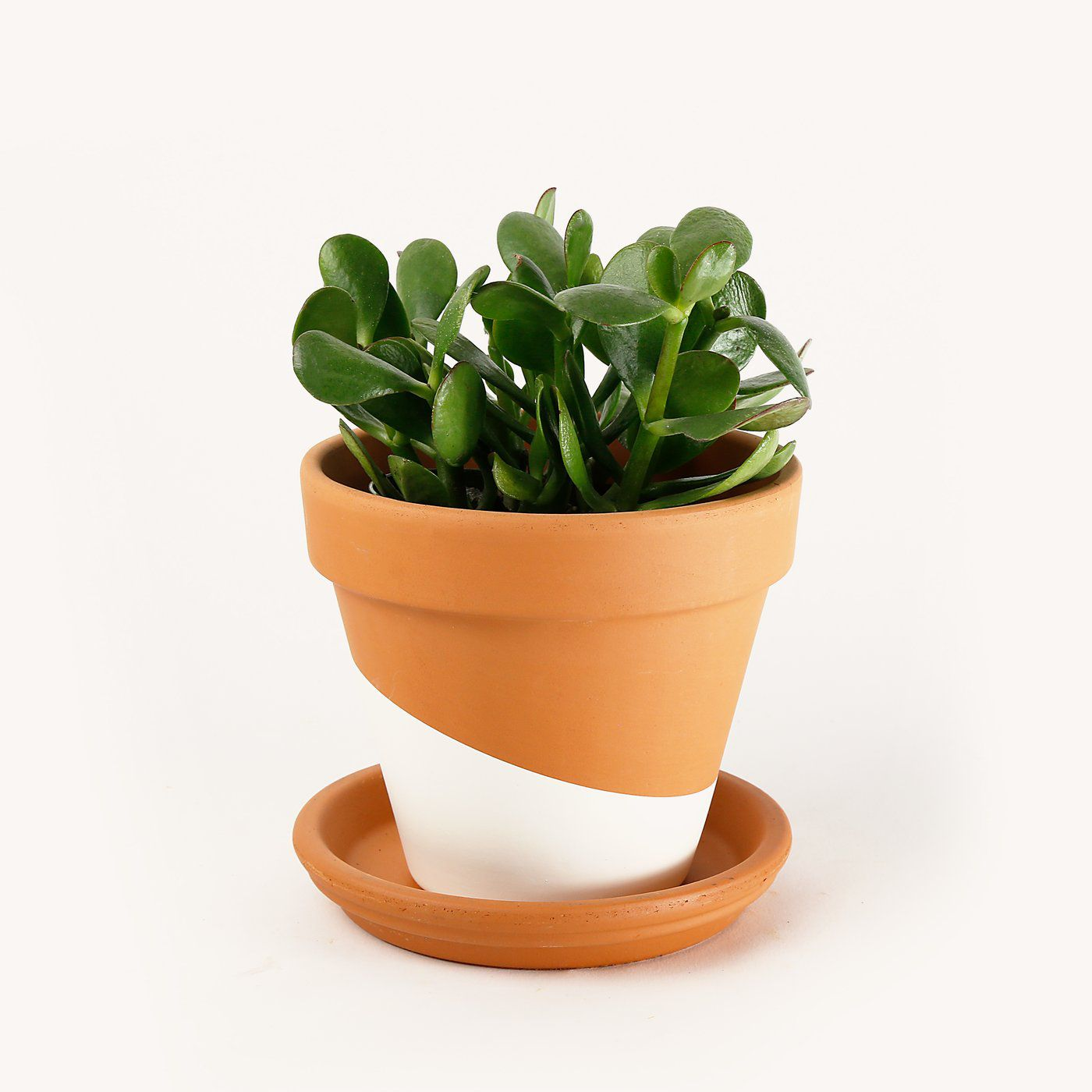 Jade plant in a painted terra cotta pot