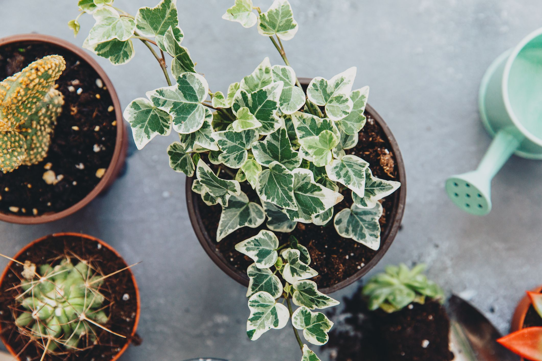 10 Types of Ivy Every Plant Lover Should Know