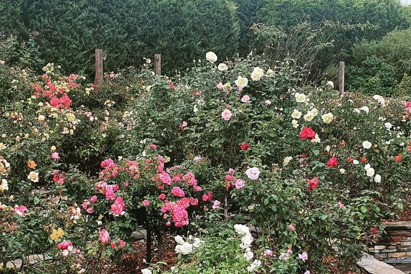 Large rose bush filled with different varieties.
