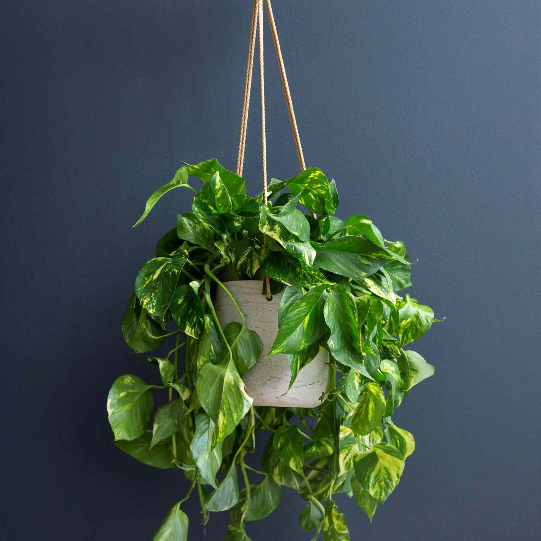 Golden pothos in a hanging planter against a blue wall