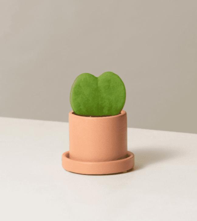 Hoya Heart Plant