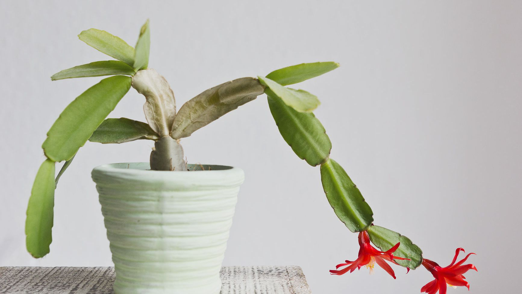 How to Care for Your Christmas Cactus