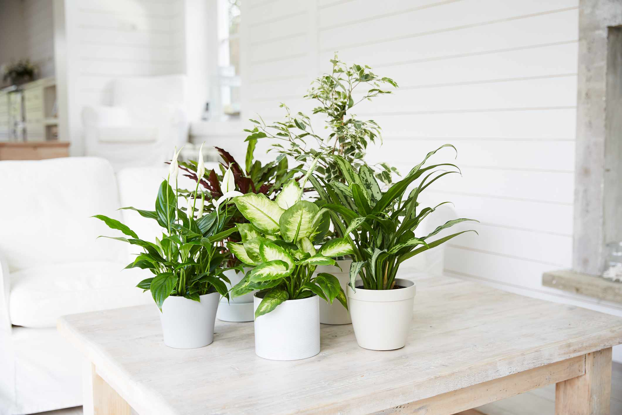 How to Care for Your Prayer Plant