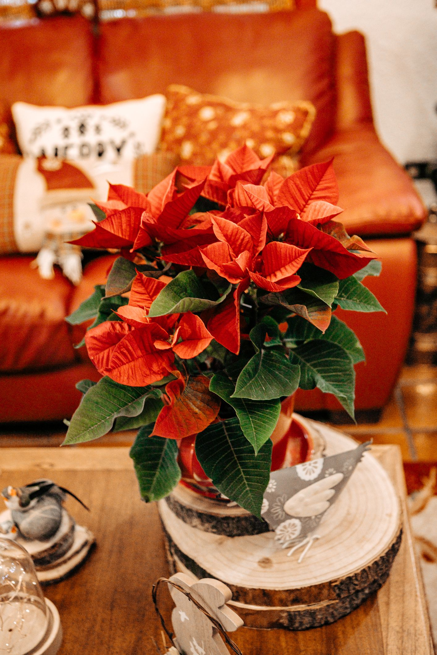 How to Care for (and Propagate) Your Poinsettia Plants