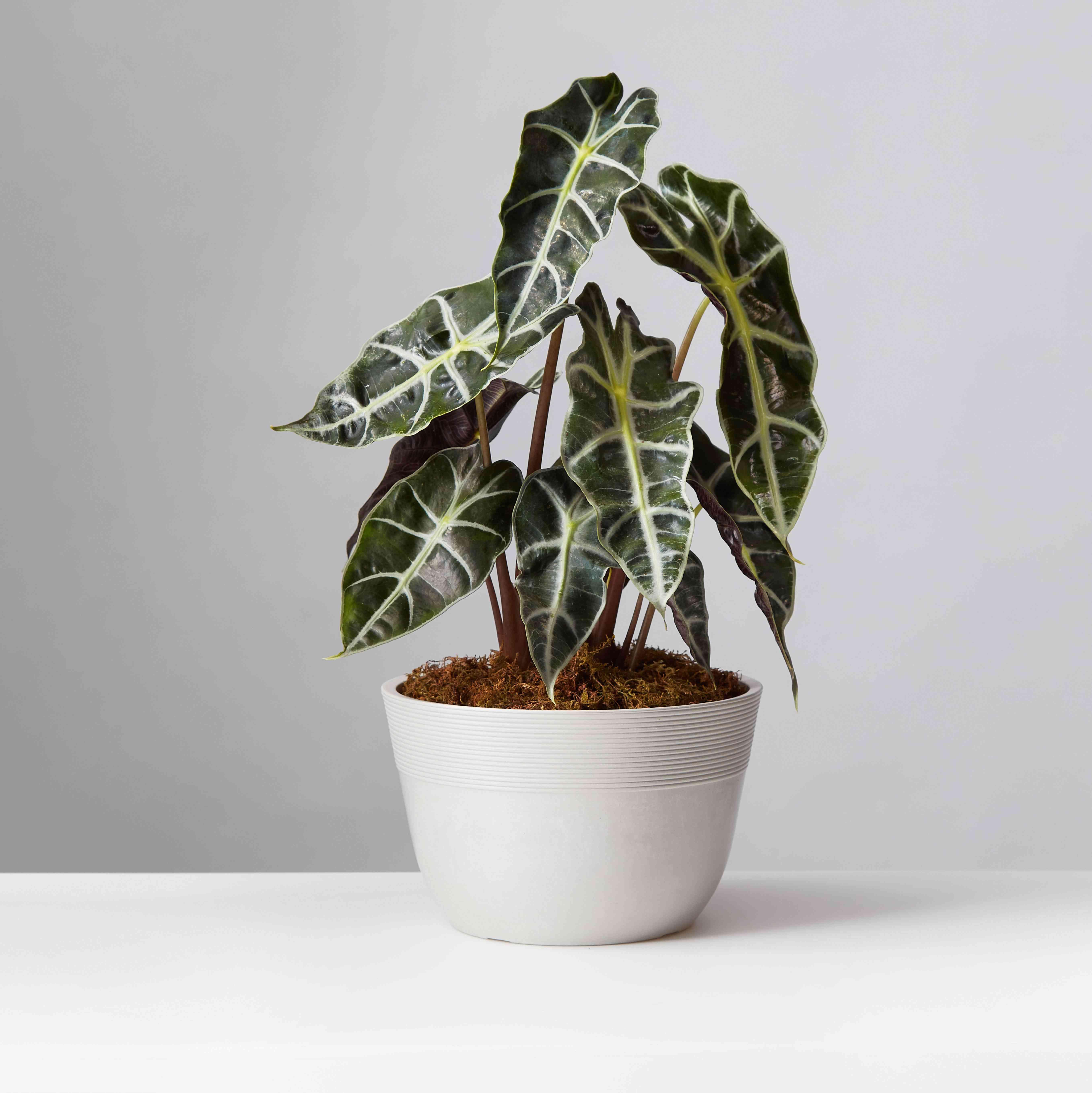Alocasia Polly in a white pot