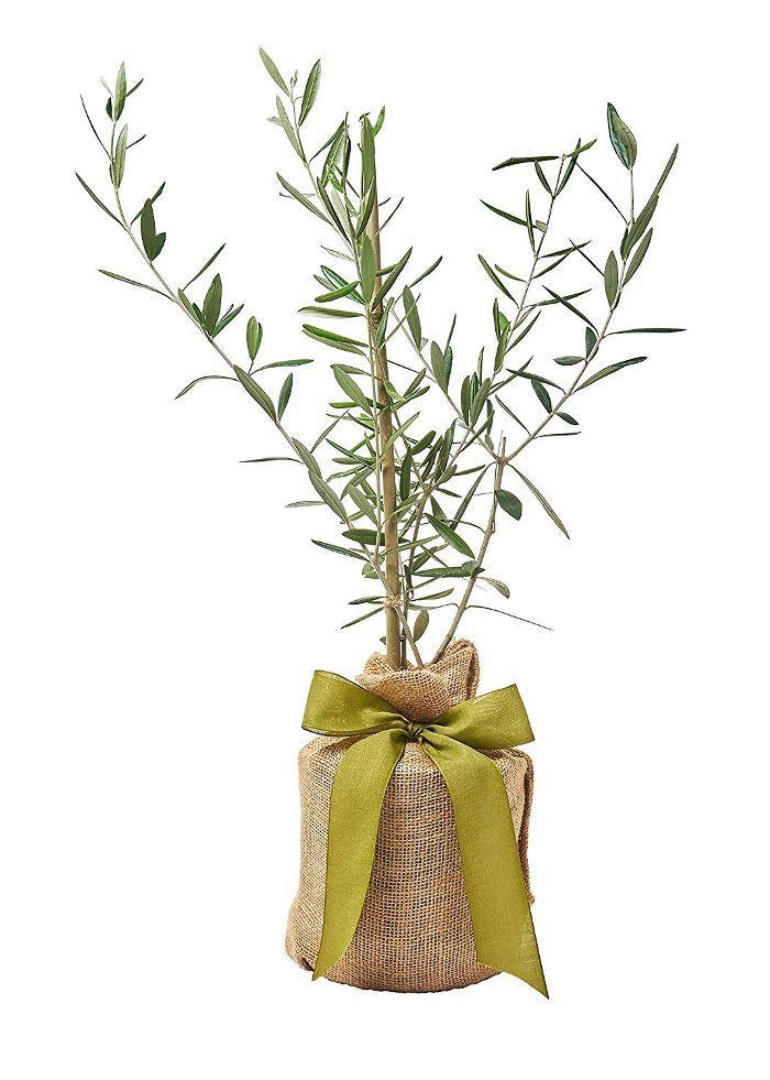 The Magnolia Company Olive Tree